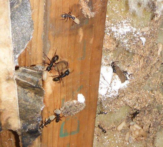 Les fourmis charpentières
